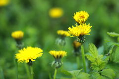 Pissenlit, Taraxacum, blowball Photos stock