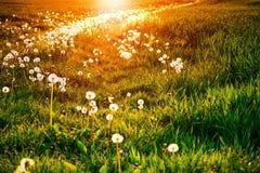 Pissenlits à la lueur de coucher du soleil Photos stock