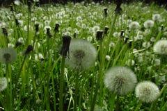 Pissenlits avec un fond vert 15 Image stock