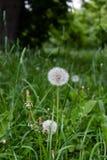 Pissenlits blottis dans l'officinale de Tarataxum d'herbe Fermez-vous vers le haut de la vue Foyer s?lectif images stock