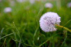 Pissenlits d'air sur un champ vert Ressort Image stock