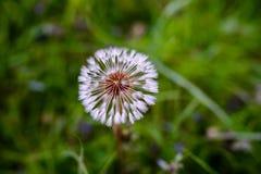 Pissenlits d'air sur un champ vert Ressort Photo stock