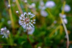 Pissenlits d'air sur un champ vert Ressort Photos libres de droits