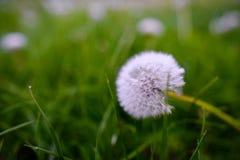 Pissenlits d'air sur un champ vert Ressort Image libre de droits