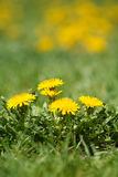Pissenlits dans l'herbe Image stock