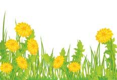 Pissenlits dans l'herbe Photo libre de droits