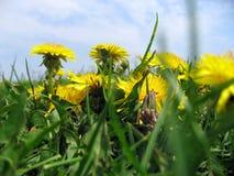 Pissenlits dans l'herbe Photographie stock