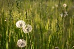 Pissenlits dans l'herbe ! image stock