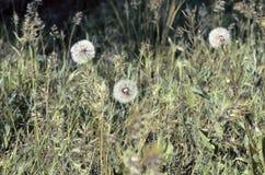 Pissenlits dans une herbe photos stock