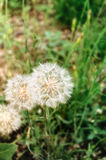 Pissenlits dans une herbe Image libre de droits
