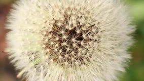 Pissenlits de fleurs de ressort dans l'herbe verte dans la vue de brise, supérieure et macro clips vidéos