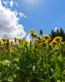 Pissenlits de floraison un jour ensoleillé contre le ciel Photo stock