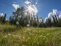 Pissenlits devant le lac de forêt Images libres de droits