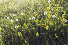 Pissenlits inondés avec la lumière du soleil Photo libre de droits