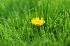 Pissenlits jaunes Images stock