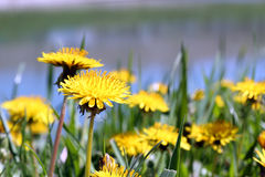 Pissenlits jaunes Image libre de droits