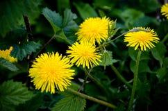 Pissenlits jaunes Photos libres de droits