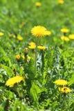 Pissenlits jaunes Photographie stock