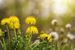 Pissenlits jaunes dans le pré ensoleillé photographie stock libre de droits