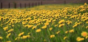 Pissenlits jaunes dans un pr? vert photos stock
