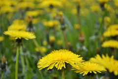 Pissenlits jaunes ensoleillés Photo libre de droits