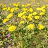 Pissenlits, officinale de Taraxacum dans le domaine d'herbe photo stock