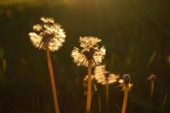 Pissenlits romantiques Image libre de droits