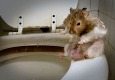 Pissing mouse  - hamster Royalty Free Stock Photos