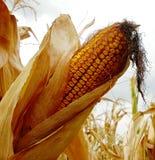 Pistão do milho no campo imagens de stock