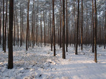 Pista alinhada árvore do inverno Imagem de Stock