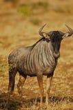 Pista azul del Wildebeest encendido Foto de archivo libre de regalías