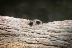 Pista congregada de la mangosta Imagenes de archivo