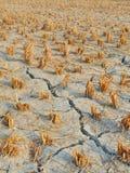 Pista cosechada agrietada del campo de arroz Imagen de archivo
