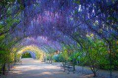 Pista da glicínia, Adelaide Botanic Gardens imagens de stock