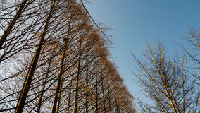Pista da sequoia do meta sob o céu azul Fotografia de Stock