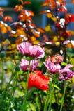 Pista de amapolas rosadas foto de archivo