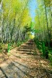 Pista de bambú de la caminata del bosque Fotos de archivo libres de regalías
