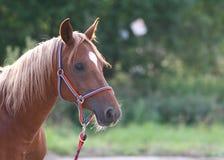 Pista de caballo árabe Fotografía de archivo libre de regalías