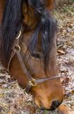 Pista de caballo árabe de la bahía Imagen de archivo libre de regalías
