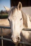 Pista de caballo blanco Fotografía de archivo