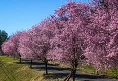 Pista de Cherry Blossom Trees Along Country foto de stock