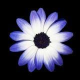 Pista de flor de la margarita azul y blanca de Osteospermum - Fotografía de archivo libre de regalías