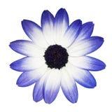 Pista de flor de la margarita azul y blanca de Osteospermum - Imagenes de archivo