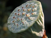 pista de flor de loto Fotos de archivo libres de regalías