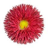 Pista de flor roja de la margarita con el centro amarillo aislado Imágenes de archivo libres de regalías