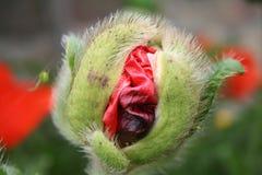 Pista de la amapola Imagen de archivo libre de regalías
