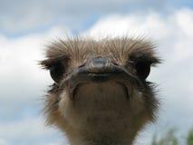 Pista de la avestruz Fotografía de archivo