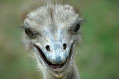 Pista de la avestruz. Fotografía de archivo
