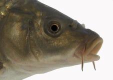 Pista de la carpa - aislada Imagen de archivo