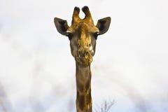 Pista de la jirafa Imágenes de archivo libres de regalías